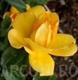 poza Trandafiri pitici de gradina, Limesgold (galben), in ghiveci de 14 cm