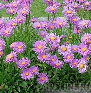 poza Flori de gradina perene Aster alpinus Happy End