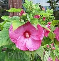 poza Flori perene `Hibiscus moscheutos`, diverse culori, ghivece de 3 litri