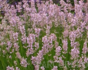 poza Plante aromatice de gradina Lavandula AngustifoliaRosea/Lavandula in ghiveci de 1 litru