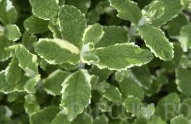 poza Plante aromatice de gradina 'Mentha x rotundifolia Variegata' in ghiveci diametrul 11 cm
