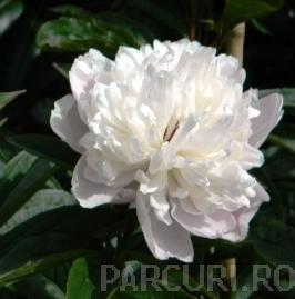 poza Bujor Paeonia lactiflora Duchesse de Nemour ghiveci 1 litri