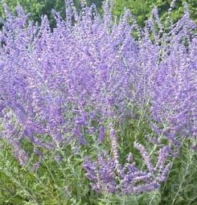 poza Flori de gradina perene Perovskia in ghiveci  3l