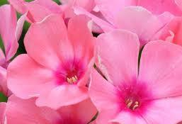 poza Flori de gradina perene Flox/ Phlox Sweet Summer Dream rozla ghiv de 1 litru