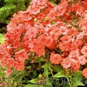 poza Flori de gradina perene Flox Phlox paniculata Orange Perfection ghiv de 3 litri