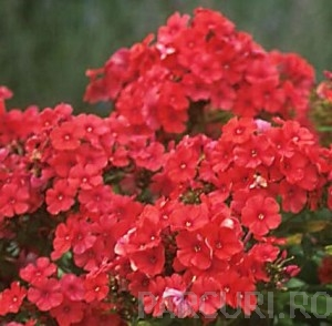 poza Flori de gradina perene Flox Phlox paniculata Red Riding Hood ghiv de 3 litri