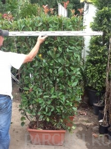poza Arbusti foiosi evergreen PHOTINIA FRASERII RED ROBIN, jarfiniera 70 cm litri, h=175cm