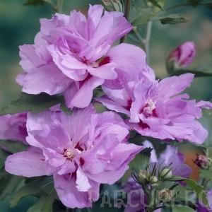 poza Arbusti de HIBISCUS SYRIACUS Ardens cu flori duble, ghiveci 5 litri, h=40-60 cm