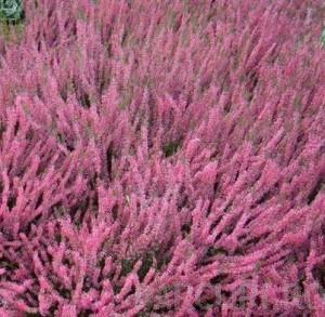 poza Flori perene Calluna vulgaris 'GARDEN BEAUTY LADIES r' (caluna), flori rosii, ghivece 12 cm,