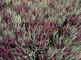 poza Flori perene `Calluna vulgaris mix` (caluna) ghivece 12 cm,
