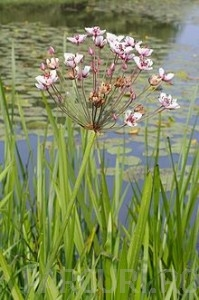 poza Plante acvatice Butomus umbellatus