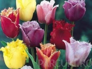poza Bulbi de lalele Fringed, mixte, soiuri diferite, 20 buc/punga, flori duble cu marginea franjurata