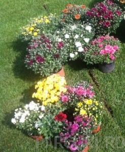 poza Flori de gradina perene CHRYSANTHEMUM /CRIZANTEMA culori mixte