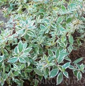 poza Arbusti parfumati de gradina ABELIA AUREOVARIEGATA in ghiveci de 3 litri, h=20-25 cm tufa formata
