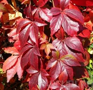 poza Plante urcatoare vita canadiana Ampelopsis quinquefolia (sin. Parthenocissus quinquefolia) ghiveci 12 litri, h=200-250 cm
