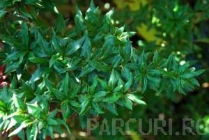 poza Arbusti pitici BERBERIS VERRUCULOSA la ghiveci de 3 litri , 20-30 cm