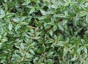 poza Arbusti pitici 'BERBERIS VERRUCULOSA' la ghiveci de 5 litri , 35-40 cm.