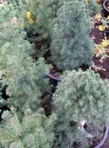 poza Arbusti rasinosi PICEA ALBERTINA CONICA ghiveci 5 litri, h=30-40 cm