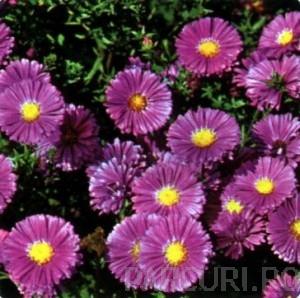 poza Flori de gradina perene Aster Novi-Belgii Sarah Ballard (aster, steluta, ochiul boului de munte), fl .lila