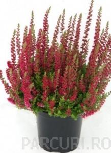 poza Flori perene Calluna vulgaris 'Dark Beaut'  (caluna), flori rosii,  ghivece 12 cm,