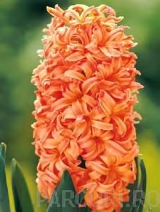 poza Bulbi de zambile, Gipsy Queen, 3 buc/punga, culoare portocalie - oranj, bulbi f mari 16 cm