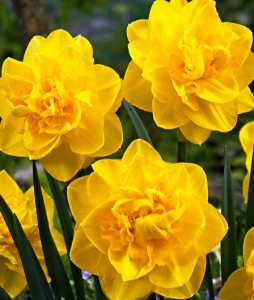 poza Bulbi de narcise,Golden Ducat, 5 buc/punga, floare batuta, galbena