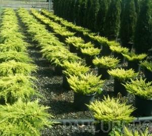 Poza Arbusti rasinosi JUNIPERUS LIME GLOW ghiveci de 7 litri