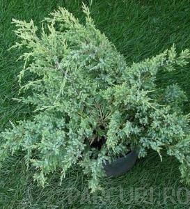 poza Arbusti rasinosi JUNIPERUS BLUE SWEDE ghiveci 5 litri, 40-60  cm