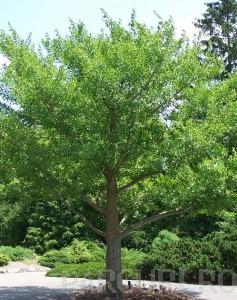 poza Arbori Gingko biloba circumf. trunchi 12/14 cm (arborele pagodelor) h-3 m