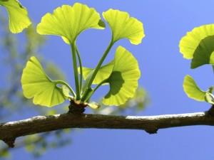 poza Ginkgo biloba, 12/14 cm (arborele pagodelor), h-3 m