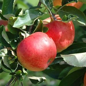 poza Meri la ghiveci, ramificat , coroana formata pe rod . Puieti pomi fructiferi altoiti.