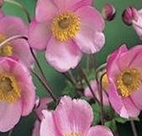 poza Flori perene ANEMONE/ANEMONE CORONARIA Pink Saucer in ghiveci de 1 litru