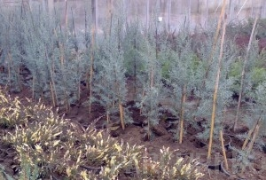 poza Arbori rasinosi CUPRESSUS ARIZONICA FASTIGIATAghiveci 3-4 litri, h=100-120cm pt garduri vii