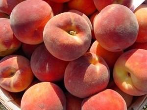 poza Piersic soiul Redhaven la ghiveci. Puieti fructiferi ramificati, coroana formata.
