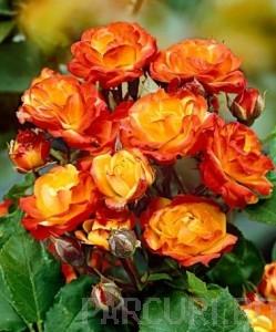 poza Trandafiri de gradina Floribunda cu radacini ambalate  'Samba'
