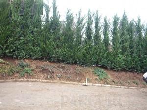 Poza Gard viu rasinoase Cupressocyparis leylandii