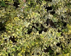 poza Arbust frunze persistente EUONYMUS Harlequine, euonimus,  ghiveci 3-5 litri, h= 20-30cm