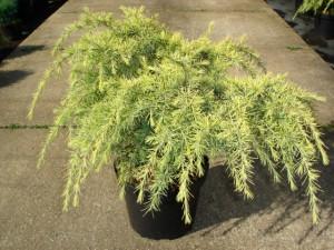 Poza Arbusti rasinosi UMBRELA / CEDRU DEODORA FEELING GOLD ghiveci de 7 litri, h= 60-80 cm, diam=40-50 cm. Poza 8879