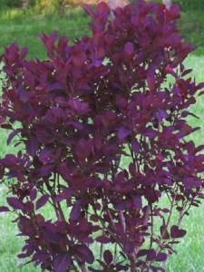 poza Arbusti cu frunze rosii 'COTINUS ROYAL PURPLE', la ghiveci 5 litri, h=40-60 cm.