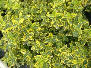 poza Arbust frunze persistente EUONYMUS Emerald Gold, C1.5 H=10-15 CM