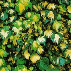 Poza Plante cataratoare Hedera helix Gold Heart, ghiveci 3-5 litri, h=80-100 cm. Poza 8917
