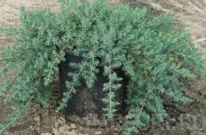 Poza Arbusti rasinosi JUNIPERUS CONFERTA` BLUE PACIFIC` ghiveci 5-7 litri, 30-40 cm