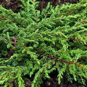 Poza Arbusti rasinosi Juniperus communis repanda, ghiveci 3 litri , 30-40 cm. Poza 8931
