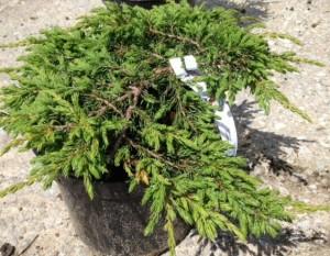 Poza Arbusti rasinosi Juniperus communis repanda, ghiveci 3 litri , 30-40 cm. Poza 8932