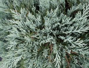 poza Arbusti rasinosi Juniperus horizontalis Glacier, ghiveci 3-4 litri , 30-40cm