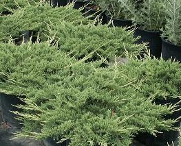 poza Arbusti rasinosi Juniperus Prince of Wales, ghiveci 3 litri , 30-50 cm