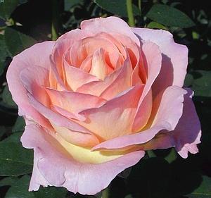 poza Trandafiri de gradina cu radacina Elle la ghiveci de 3 litri