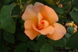 poza Trandafiri de gradina cu radacina ambalata ` Beaute`
