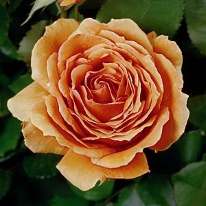 poza Tradafir grupa Thea, trandafir de colectie Ashram, culoare portocaliu,  in ghivece de 3.5 litri