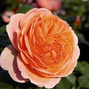 poza Tradafir grupa Thea, trandafir de colectie Belvedere, culoare portocaliu, in ghivece de 3.5 litri